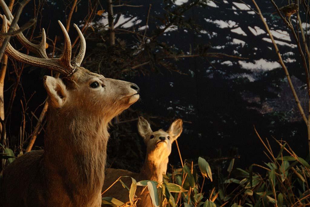 共和町かかし古里館の鹿