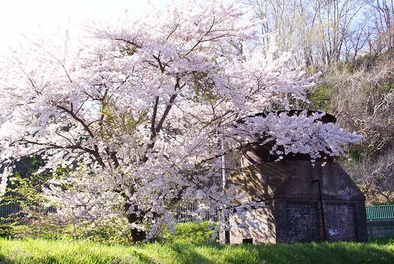 小樽市総合博物館の桜