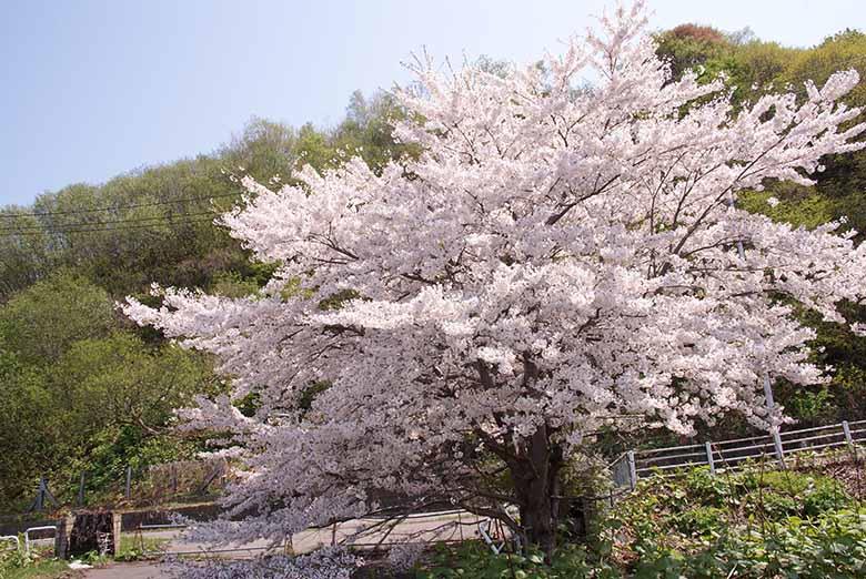 小樽築港の桜