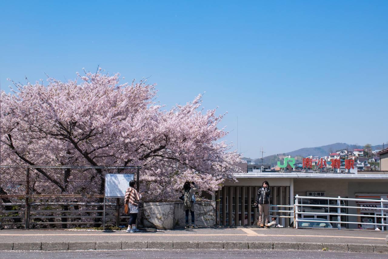 南小樽駅の桜