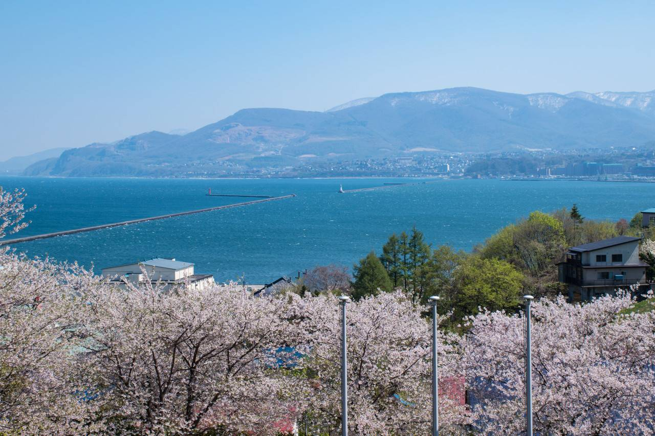 小樽手宮公園の桜