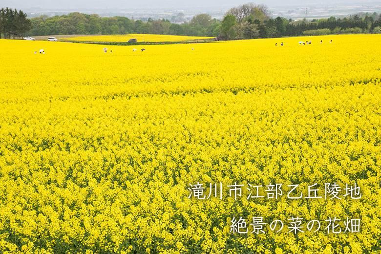 どこまでも続く黄色の絶景!滝川市江部乙丘陵地の菜の花畑
