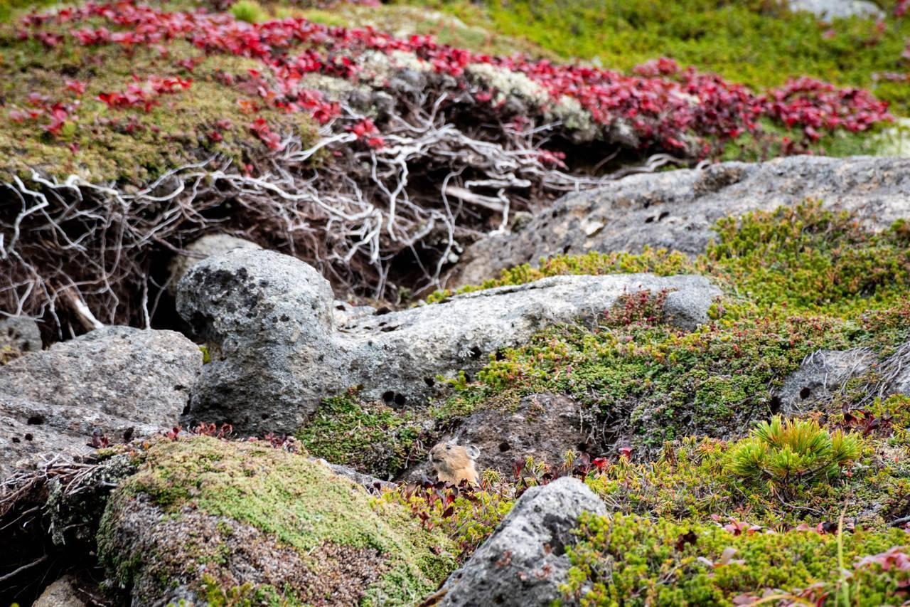 黒岳のエゾナキウサギ