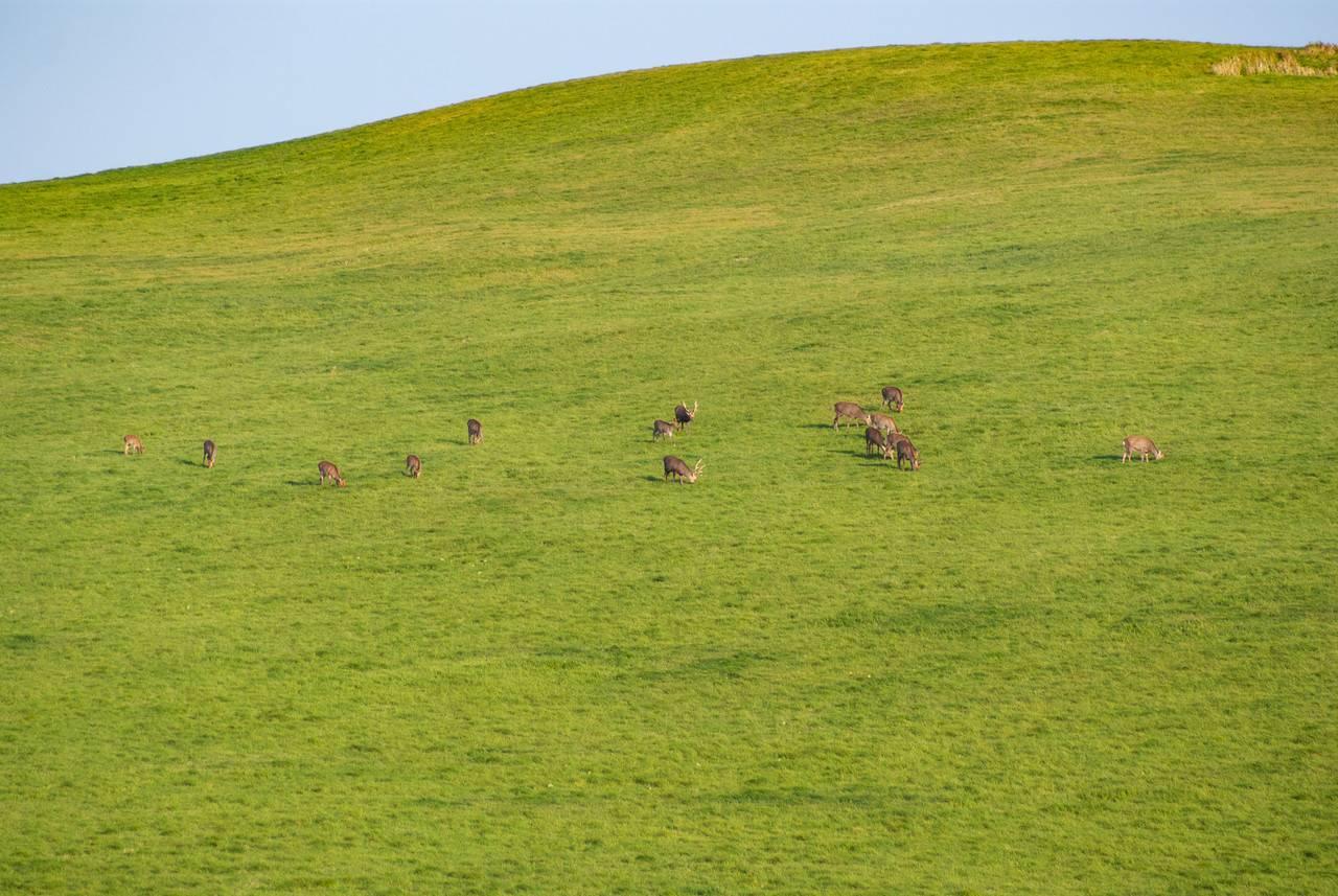 宗谷丘陵の鹿