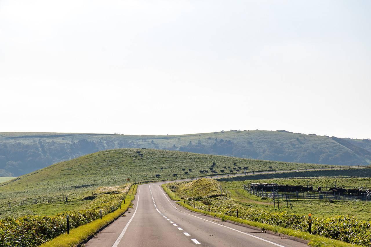 宗谷丘陵の牛