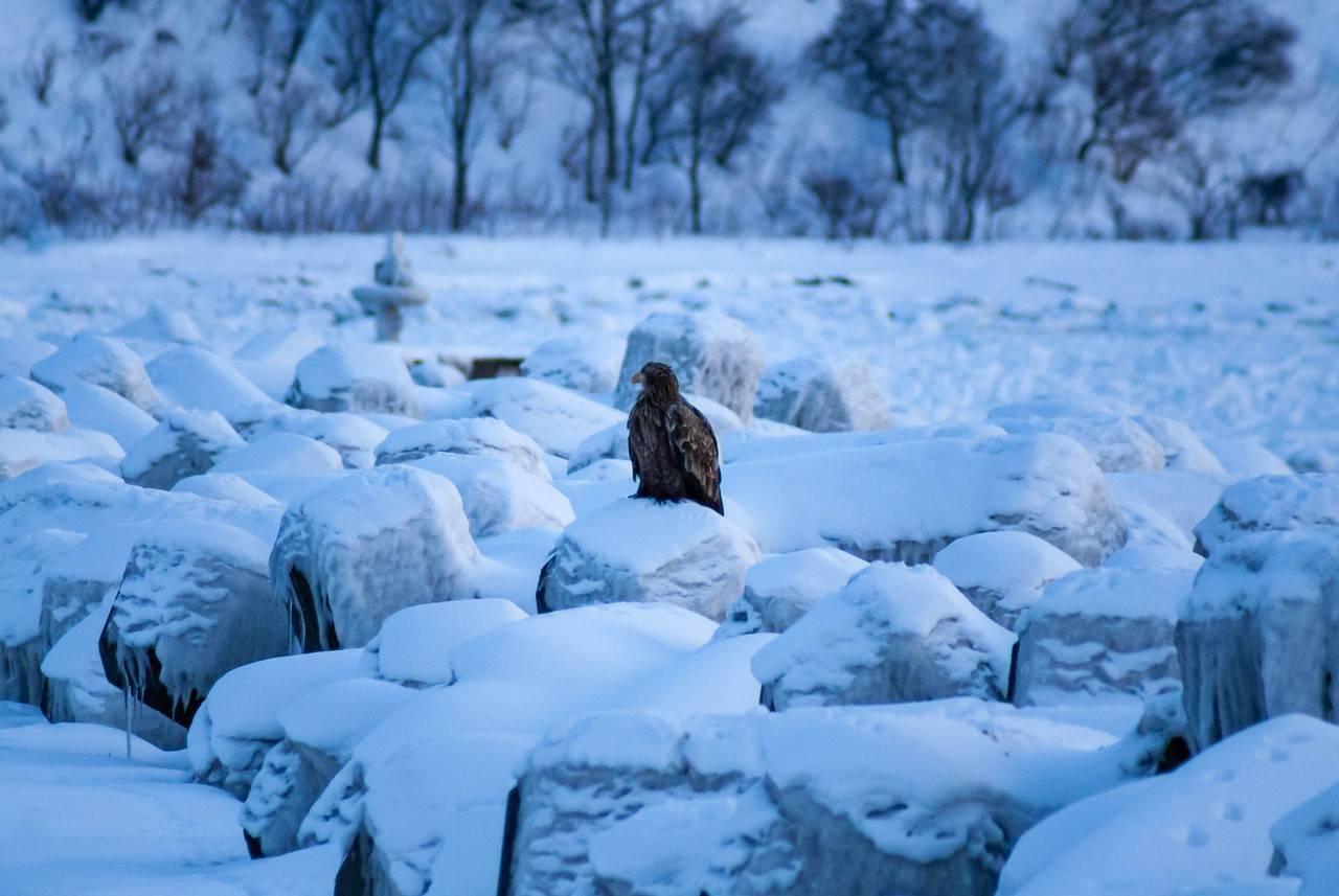 知布泊のオジロワシ