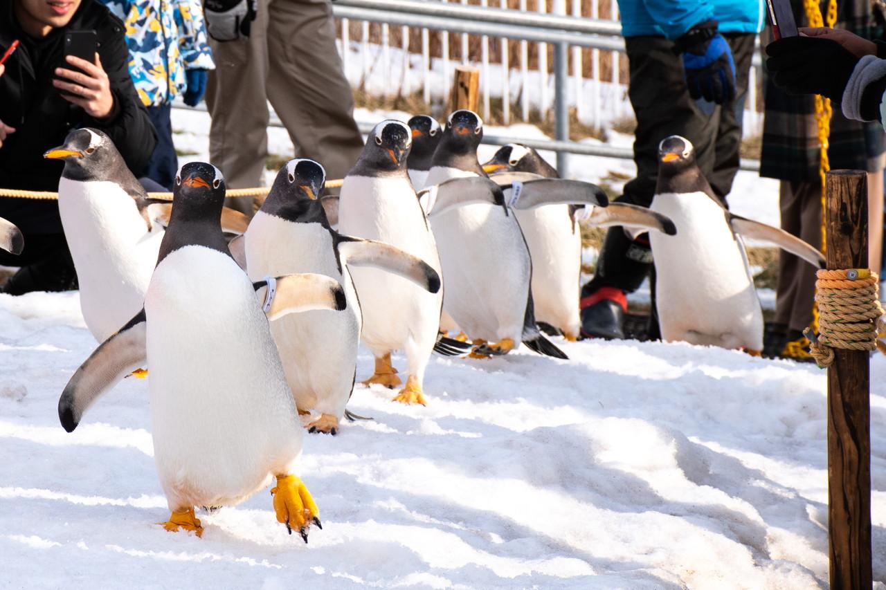 おたる水族館ペンギンの雪中散歩